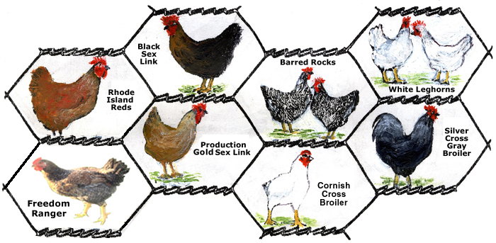 Pin Brown Leghorn Males on Pinterest
