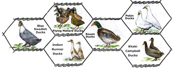 blue runner duck